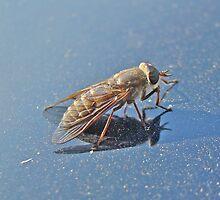 Horse Fly - Tabaninae - Tabanus by MotherNature