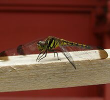 Yellow Dragonfly by Fred  Senecal