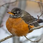 American Robin: Winter Coat by John Williams