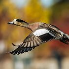 American Wigeon: Fall Arrival by John Williams