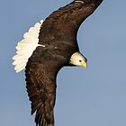 Bald Eagle  by John Williams