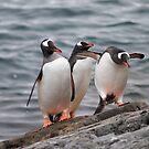 Antarctic Penguins by DianaC