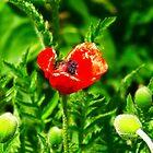 Poppy (Velvia-Style) by vivendulies