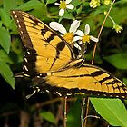 Tiger Swallowtail Butterfly  by Michael L Dye