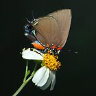 Great Purple Hairstreak Butterfly  by Michael L Dye