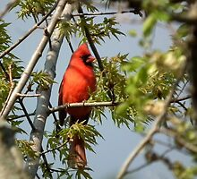 Cardinal in Spring Tree by Deb Fedeler