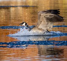 Canada Goose: Evening by John Williams