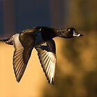 Ring-necked Duck: Down River by John Williams