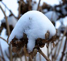 Snowy Hydrangea by kostolany244