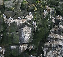 Kittiwakes nestle on Icelandic rockface by Grace Johnson