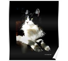 Felis Catus - Male Tuxedo Maine Coon Cat On The Kitchen Table Poster