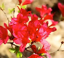 red azalea by thvisions