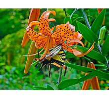 Tiger Swallowtail Butterfly and Turk's Cap Lily Wildflower Photographic Print