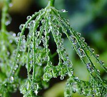 Rain Drops on Celery Seeds by Gabrielle  Lees