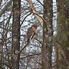 Curious Red-tailed Hawk by Willmoxdog