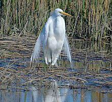 I am Queen of the Salt Marsh (Great White Egret) by imagetj