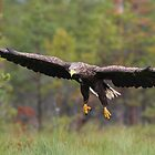 White-tailed Eagle by Remo Savisaar