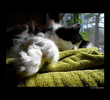 Felis Catus - Male Tuxedo Maine Coon Cat Paws  by © Sophie W. Smith