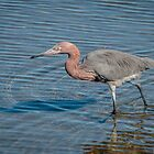 Reddish Egret on Laguna Madre by Robert Kelch, M.D.