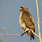 Red-tailed Hawk ~ Perch Perfect by Kimberly P-Chadwick