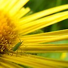 Aphid on Petals by Hannah Sterry