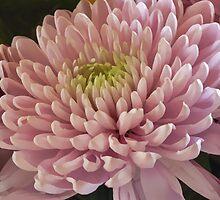 Pink Chrysanthemum by Lynn Bolt