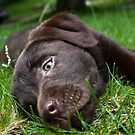 Chocolate Puppy by GroveDawg