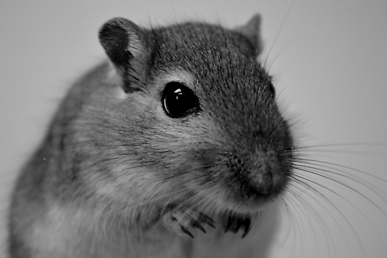Gerbil Close-up by Inzaie
