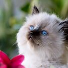 Ragdoll Kitten 01 by geomar