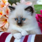 Ragdoll Kitten 02 by geomar