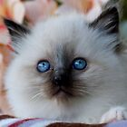 Ragdoll Kitten 05 by geomar