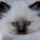 Ragdoll Kitten 11 by geomar