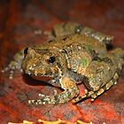 Northern Cricket Frog by Michael L Dye