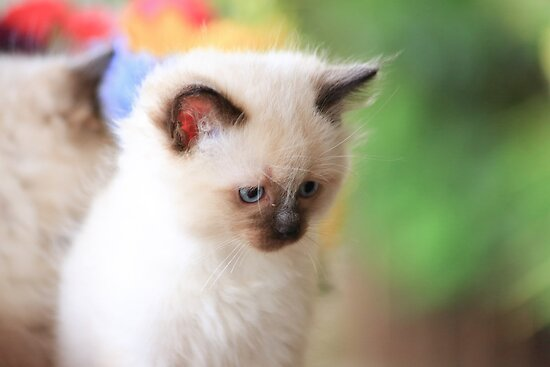 Ragdoll Kitten 18 by geomar
