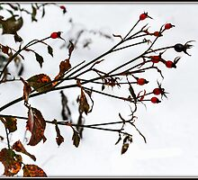 Rosehips in Snow by Mikell Herrick