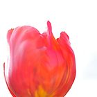 red and white tulip by Teenieweenie
