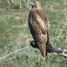Red Tail Hawk (Dark Phase ) by ShawnTsunami