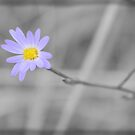 Late Purple Aster in Selective Color by ©Dawne M. Dunton