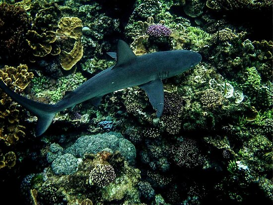 Galapigos Whaler Shark by Stephen Quennell