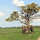 African Leadwood by Donald  Mavor
