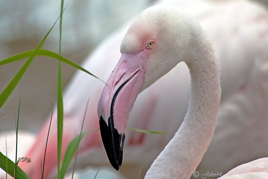 .. Flamingo..a bird with class..   by John44