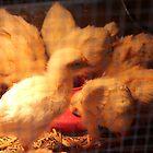 Farm/chicken by arlingtonpup