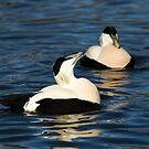 Male Eider Duck at WWT Slimbridge by Cliff Williams