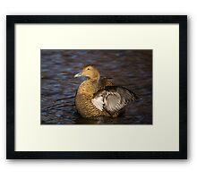 Female Eider Duck Framed Print