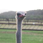 ostrich in Africa. by Kirk D. Belmont Photography
