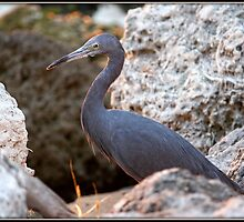 Little Blue Heron on the Rocks by Mikell Herrick