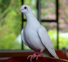 I Am...Love, Innocence, Tenderness & Purity... White Dove- NZ by AndreaEL