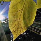 Sun Rays Though Leaf by BavosiPhotoArt
