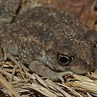 Eastern Spadefoot Toad by Michael L Dye