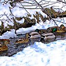 Getting My Ducks in a Row by Greg Belfrage